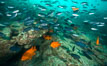 Blacksmith chromis and Garibaldi aggregation, Catalina. Catalina Island, California, USA. Image #30978