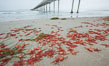 Pelagic red tuna crabs, washed ashore to form dense piles on the beach. Ocean Beach, California, USA. Image #30982
