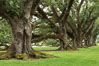 Oak Alley Plantation and its famous shaded tunnel of  300-year-old southern live oak trees (Quercus virginiana).  The plantation is now designated as a National Historic Landmark. Vacherie, Louisiana, USA. Image #31000