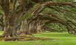 Oak Alley Plantation and its famous shaded tunnel of  300-year-old southern live oak trees (Quercus virginiana).  The plantation is now designated as a National Historic Landmark. Vacherie, Louisiana, USA. Image #31003