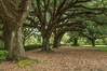 Oak Alley Plantation and its famous shaded tunnel of  300-year-old southern live oak trees (Quercus virginiana).  The plantation is now designated as a National Historic Landmark. Vacherie, Louisiana, USA. Image #31006