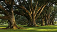 Oak Alley Plantation and its famous shaded tunnel of  300-year-old southern live oak trees (Quercus virginiana).  The plantation is now designated as a National Historic Landmark. Vacherie, Louisiana, USA. Image #31020