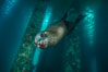 California sea lion at oil rig Eureka, underwater, among the pilings supporting the oil rig. Long Beach, California, USA. Image #31087