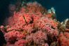 Corynactis anemones on Oil Rig Elly underwater structure. Long Beach, California, USA. Image #31121