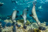 California sea lions underwater, Sea of Cortez, Mexico. Baja California. Image #31205