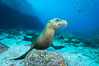 California sea lion underwater, Sea of Cortez, Mexico. Baja California. Image #31206