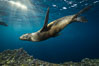 Sea lion underwater in beautiful sunset light. Sea of Cortez, Baja California, Mexico. Image #31208