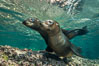 Young California sea lion pups underwater, Sea of Cortez, Mexico. Baja California. Image #31209