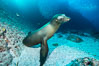 California sea lion underwater, Sea of Cortez, Mexico. Baja California. Image #31211