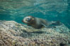 Young California sea lion pup underwater, Sea of Cortez. Baja California, Mexico. Image #31212