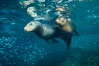 Sea lions underwater, adult male (left) and female (right). Sea of Cortez, Baja California, Mexico. Image #31218