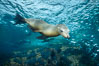 California sea lion underwater, Sea of Cortez, Mexico. Sea of Cortez, Baja California, Mexico. Image #31219