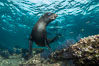 California sea lion underwater, Sea of Cortez, Mexico. Sea of Cortez, Baja California, Mexico. Image #31221