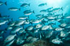 Blue-bronze sea chub schooling, Sea of Cortez. Baja California, Mexico. Image #31230