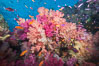 Dendronephthya soft corals and schooling Anthias fishes, feeding on plankton in strong ocean currents over a pristine coral reef. Fiji is known as the soft coral capitlal of the world. Namena Marine Reserve, Namena Island, Fiji. Image #31319