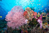 Beautiful South Pacific coral reef, with Plexauridae sea fans, schooling anthias fish and colorful dendronephthya soft corals, Fiji. Namena Marine Reserve, Namena Island. Image #31321
