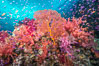 Beautiful tropical reef in Fiji. The reef is covered with dendronephthya soft corals and sea fan gorgonians, with schooling Anthias fishes swimming against a strong current. Gau Island, Lomaiviti Archipelago. Image #31328