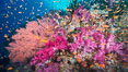 Beautiful South Pacific coral reef, with gorgonian sea fans, schooling anthias fish and colorful dendronephthya soft corals, Fiji. Vatu I Ra Passage, Bligh Waters, Viti Levu  Island. Image #31330