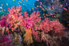 Dendronephthya soft corals and schooling Anthias fishes, feeding on plankton in strong ocean currents over a pristine coral reef. Fiji is known as the soft coral capitlal of the world. Namena Marine Reserve, Namena Island, Fiji. Image #31338