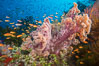 Dendronephthya soft corals and schooling Anthias fishes, feeding on plankton in strong ocean currents over a pristine coral reef. Fiji is known as the soft coral capitlal of the world. Image #31340