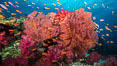 Beautiful South Pacific coral reef, with gorgonian sea fans, schooling anthias fish and colorful dendronephthya soft corals, Fiji. Image #31341