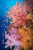 Dendronephthya soft corals and schooling Anthias fishes, feeding on plankton in strong ocean currents over a pristine coral reef. Fiji is known as the soft coral capitlal of the world. Vatu I Ra Passage, Bligh Waters, Viti Levu  Island. Image #31358