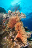 Gorgonians and Stony Corals, Tropical Coral Reef, Fiji. Vatu I Ra Passage, Bligh Waters, Viti Levu  Island. Image #31360