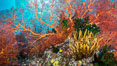 Red Gorgonian and Yellow Crinoid on Coral Reef, Fiji. Wakaya Island, Lomaiviti Archipelago. Image #31395