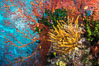 Yellow crinoid, green fan coral and red gorgonian on colorful and pristine coral reef, Fiji. Wakaya Island, Lomaiviti Archipelago. Image #31396