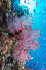 Sea fan gorgonian and schooling Anthias on pristine and beautiful coral reef, Fiji. Wakaya Island, Lomaiviti Archipelago, Fiji. Image #31397
