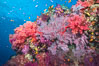 Beautiful tropical reef in Fiji. The reef is covered with dendronephthya soft corals and sea fan gorgonians, with schooling Anthias fishes swimming against a strong current. Namena Marine Reserve, Namena Island. Image #31401