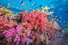 Dendronephthya soft corals and schooling Anthias fishes, feeding on plankton in strong ocean currents over a pristine coral reef. Fiji is known as the soft coral capitlal of the world. Namena Marine Reserve, Namena Island, Fiji. Image #31402
