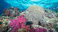 Pink Soft Corals and Pristine Hard Corals on South Pacific Reef, Fiji. Large coral head is Platygyra lamellina. Namena Marine Reserve, Namena Island. Image #31416