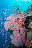 Sea fan gorgonian and schooling Anthias on pristine and beautiful coral reef, Fiji. Image #31425