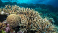Brain and staghorn corals on pristine Fijian coral reef. Image #31434