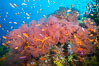 Plexauridae sea fan gorgonian and schooling Anthias on pristine and beautiful coral reef, Fiji. Image #31435