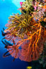 Crinoid clinging to gorgonian sea fan, Fiji. Image #31445