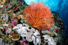 Sarcophyton leather coral and sea fan gorgonian on pristine coral reef, Fiji. Image #31446