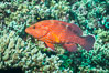 Coral Hind, Cephalopholis miniata, also known as Coral Trout and Coral Grouper, Fiji. Makogai Island, Lomaiviti Archipelago. Image #31448