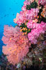 Beautiful tropical reef in Fiji. The reef is covered with dendronephthya soft corals and sea fan gorgonians, with schooling Anthias fishes swimming against a strong current. Vatu I Ra Passage, Bligh Waters, Viti Levu  Island. Image #31469