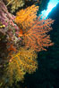 Colorful Chironephthya soft corals capture planktonic food in passing ocean currents, Fiji. Vatu I Ra Passage, Bligh Waters, Viti Levu  Island. Image #31503