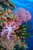 Soft corals (gorgonians, dendronephthya) and hard corals cover a pristine and beautiful south Pacific coral reef, Fiji. Image #31598