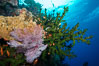 Green fan coral, anthias fishes and sea fan gorgonians on pristine reef,  Fiji. Image #31604