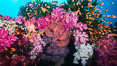 Beautiful South Pacific coral reef, with gorgonian sea fans, schooling anthias fish and colorful dendronephthya soft corals, Fiji. Image #31622