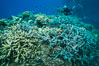 Staghorn coral (Acropora palifera) and other hard corals on pristine Fijian coral reef. Vatu I Ra Passage, Bligh Waters, Viti Levu  Island. Image #31677