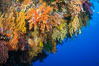 Colorful Chironephthya soft coral coloniea in Fiji, hanging off wall, resembling sea fans or gorgonians. Vatu I Ra Passage, Bligh Waters, Viti Levu  Island. Image #31678