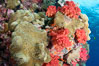 Sarcophyton leather coral and sea fan gorgonian on pristine coral reef, Fiji. Image #31849