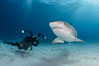 Tiger shark and underwater photographer. Bahamas. Image #31877