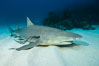 Lemon shark. Bahamas. Image #32017