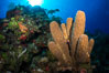 Sponges on Caribbean coral reef, Grand Cayman Island. Cayman Islands. Image #32037